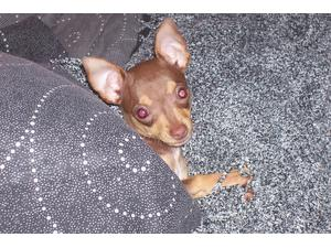 <a href='/pet-recovery/LostPetPosterOnline.aspx?lpid=41399' style='color:white; text-decoration:none;'>Punkin (Chihuahua)<br/>Pace, FL</a>