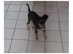 <a href='/pet-recovery/LostPetPosterOnline.aspx?lpid=38282' style='color:white; text-decoration:none;'>Darlin (Chorkie)<br/>Hanover Park, IL</a>