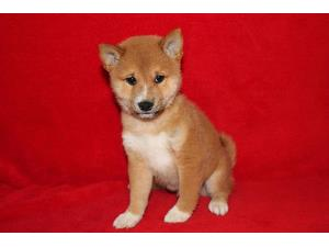 <a href='/pet-recovery/LostPetPosterOnline.aspx?lpid=39997' style='color:white; text-decoration:none;'> (Shiba Inu)<br/>NAPERVILLE, IL</a>