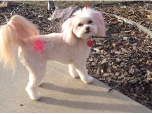 <a href='/pet-recovery/LostPetPosterOnline.aspx?lpid=38188' style='color:white; text-decoration:none;'>Macie (POMAPOO)<br/>Centennial, CO</a>