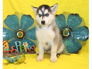 <a href='/pet-recovery/LostPetPosterOnline.aspx?lpid=39939' style='color:white; text-decoration:none;'>Lacy (Siberian Husky)<br/>Santa Rosa Valley, CA</a>