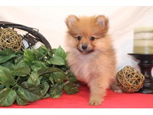 <a href='/pet-recovery/LostPetPosterOnline.aspx?lpid=39976' style='color:white; text-decoration:none;'>Rascal (Pomeranian)<br/>Wheelersburg, OH</a>