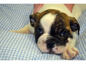 <a href='/pet-recovery/LostPetPosterOnline.aspx?lpid=39207' style='color:white; text-decoration:none;'> (English Bulldog)<br/>Crestview, FL</a>