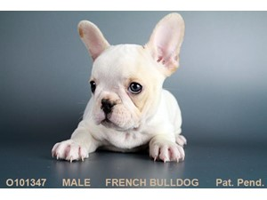 <a href='/pet-recovery/LostPetPosterOnline.aspx?lpid=38330' style='color:white; text-decoration:none;'> (French Bulldog)<br/>San Antonio, TX</a>
