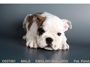<a href='/pet-recovery/LostPetPosterOnline.aspx?lpid=38290' style='color:white; text-decoration:none;'>Ralph (English Bulldog)<br/>Lafayette, GA</a>