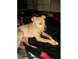 <a href='/pet-recovery/LostPetPosterOnline.aspx?lpid=39289' style='color:white; text-decoration:none;'>Kobe JellyBean Vernon (Labrador Retriever / American Pit Bull Terrier)<br/>Charlotte, NC</a>