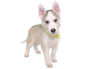 <a href='/pet-recovery/LostPetPosterOnline.aspx?lpid=39128' style='color:white; text-decoration:none;'>Beamer (Siberian Husky)<br/>Wichita, KS</a>