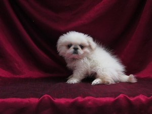 <a href='/pet-recovery/LostPetPosterOnline.aspx?lpid=39159' style='color:white; text-decoration:none;'>Pakita (Pekingese)<br/>San Antonio, TX</a>