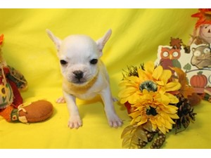 <a href='/pet-recovery/LostPetPosterOnline.aspx?lpid=38194' style='color:white; text-decoration:none;'> (French Bulldog)<br/>San Antonio, TX</a>