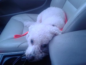 <a href='/pet-recovery/FoundPetPoster.aspx?sighting=19238' style='color:white; text-decoration:none;'>bijon (Dog)<br/>Commerce Twp, MI</a>