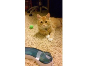 <a href='/pet-recovery/FoundPetPoster.aspx?sighting=19240' style='color:white; text-decoration:none;'>Orange Tabby, long hair (Cat)<br/>Vancouver, WA</a>