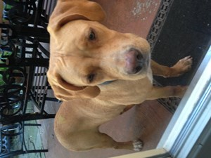 <a href='/pet-recovery/FoundPetPoster.aspx?sighting=19252' style='color:white; text-decoration:none;'>Pitbull Mix (Dog)<br/>Houston, TX</a>