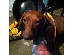 <a href='/pet-recovery/FoundPetPoster.aspx?sighting=19259' style='color:white; text-decoration:none;'>Dachshund (Dog)<br/>Converse, TX</a>