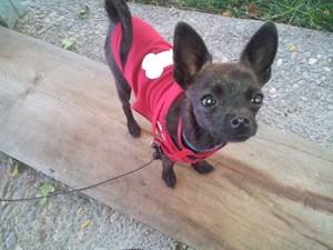 <a href='/pet-recovery/FoundPetPoster.aspx?sighting=19265' style='color:white; text-decoration:none;'>chihuahua (dog)<br/>RENO, NV</a>