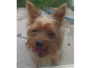 <a href='/pet-recovery/FoundPetPoster.aspx?sighting=19268' style='color:white; text-decoration:none;'>yorkie (dog)<br/>gilbert, AZ</a>