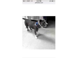<a href='/pet-recovery/FoundPetPoster.aspx?sighting=19271' style='color:white; text-decoration:none;'>Pit Bull Terrier (Dog)<br/>Charlotte, NC</a>