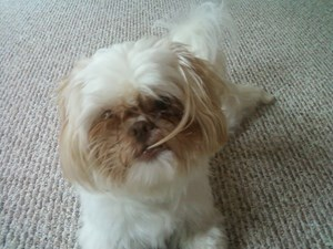<a href='/pet-recovery/LostPetPosterOnline.aspx?lpid=38150' style='color:white; text-decoration:none;'>coco (Shih Tzu)<br/>lawrenceville, GA</a>