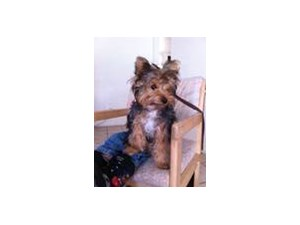 <a href='/pet-recovery/LostPetPosterOnline.aspx?lpid=38154' style='color:white; text-decoration:none;'>Bella (Yorkshire Terrier)<br/>lake havasu, AZ</a>