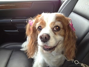 <a href='/pet-recovery/LostPetPosterOnline.aspx?lpid=38156' style='color:white; text-decoration:none;'>Ella (Cavalier King Charles Spaniel)<br/>Upper Arlington, OH</a>