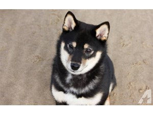 <a href='/pet-recovery/LostPetPosterOnline.aspx?lpid=38159' style='color:white; text-decoration:none;'>Shiba (Shiba Inu)<br/>Beverly Hills, CA</a>