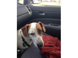 <a href='/pet-recovery/FoundPetPoster.aspx?sighting=19318' style='color:white; text-decoration:none;'>beagle mix? (dog)<br/>Nashville, TN</a>