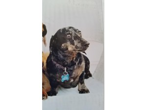 <a href='/pet-recovery/LostPetPosterOnline.aspx?lpid=38177' style='color:white; text-decoration:none;'>Roger (Dachshund)<br/>Locust Grove, VA</a>