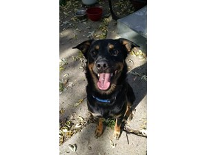 <a href='/pet-recovery/FoundPetPoster.aspx?sighting=19329' style='color:white; text-decoration:none;'>Rottweiler mix (dog)<br/>livonia, MI</a>