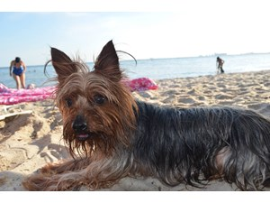 <a href='/pet-recovery/LostPetPosterOnline.aspx?lpid=38227' style='color:white; text-decoration:none;'>Joy (Yorkshire Terrier)<br/>Hialeah Gardens, FL</a>