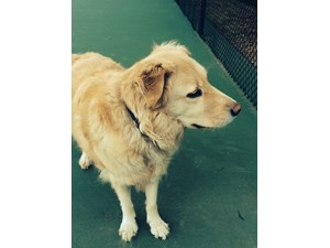 <a href='/pet-recovery/FoundPetPoster.aspx?sighting=19365' style='color:white; text-decoration:none;'>Golden Retriever (Dog)<br/>Canton, GA</a>