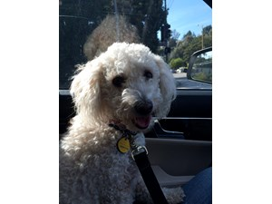 <a href='/pet-recovery/FoundPetPoster.aspx?sighting=19374' style='color:white; text-decoration:none;'>poodle (dog)<br/>Pacific Palisades, CA</a>