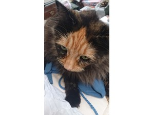 <a href='/pet-recovery/LostPetPosterOnline.aspx?lpid=38248' style='color:white; text-decoration:none;'>Meow (Domestic Long Hair)<br/>Bellevue, WA</a>