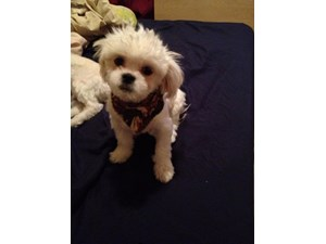 <a href='/pet-recovery/LostPetPosterOnline.aspx?lpid=38249' style='color:white; text-decoration:none;'> (Maltipeke)<br/>oak park, MI</a>