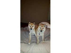 <a href='/pet-recovery/LostPetPosterOnline.aspx?lpid=38256' style='color:white; text-decoration:none;'>GEN (Shiba Inu)<br/>North Las Vegas, NV</a>
