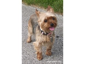 <a href='/pet-recovery/FoundPetPoster.aspx?sighting=19384' style='color:white; text-decoration:none;'>Yorkshire Terrier (dog)<br/>maimi, FL</a>