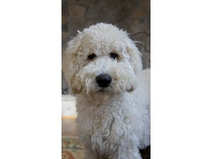 <a href='/pet-recovery/LostPetPosterOnline.aspx?lpid=38262' style='color:white; text-decoration:none;'>Loki (Golden Retriever / Poodle)<br/>Great Falls, VA</a>