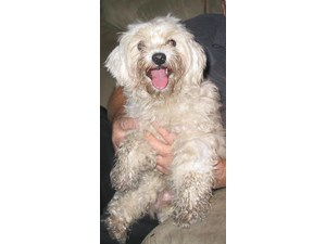 <a href='/pet-recovery/FoundPetPoster.aspx?sighting=19401' style='color:white; text-decoration:none;'>Maltese poodle ? (Dog)<br/>Bertram, TX</a>
