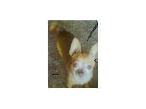 <a href='/pet-recovery/LostPetPosterOnline.aspx?lpid=38281' style='color:white; text-decoration:none;'>Bandit (Chihuahua)<br/>sun city, CA</a>