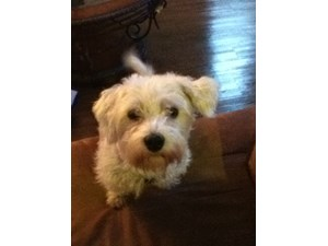 <a href='/pet-recovery/LostPetPosterOnline.aspx?lpid=38292' style='color:white; text-decoration:none;'>Charlie (Maltese / Miniature Schnauzer)<br/>Shelby, AL</a>