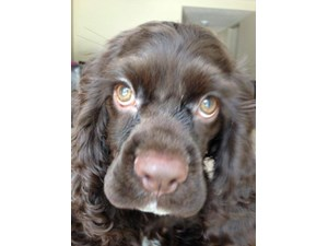 <a href='/pet-recovery/LostPetPosterOnline.aspx?lpid=38307' style='color:white; text-decoration:none;'>Dallas (Cocker Spaniel)<br/>Dayton, OH</a>