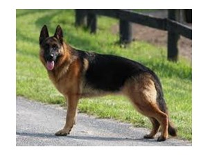 <a href='/pet-recovery/LostPetPosterOnline.aspx?lpid=38310' style='color:white; text-decoration:none;'>Mary (German Shepherd)<br/>Fresh meadows, NY</a>