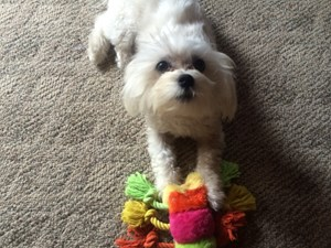 <a href='/pet-recovery/LostPetPosterOnline.aspx?lpid=38313' style='color:white; text-decoration:none;'>Lane (Maltese)<br/>kingston, OH</a>