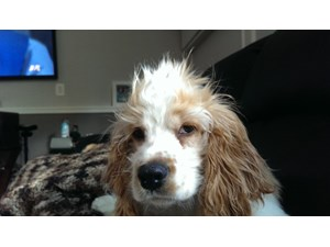 <a href='/pet-recovery/LostPetPosterOnline.aspx?lpid=38312' style='color:white; text-decoration:none;'>Lulu (Cocker Spaniel)<br/>TINLEY PARK, IL</a>