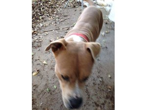 <a href='/pet-recovery/FoundPetPoster.aspx?sighting=19427' style='color:white; text-decoration:none;'>possibly pit mix (Dog)<br/>Phoenix, AZ</a>