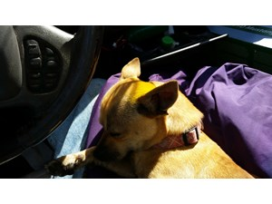 <a href='/pet-recovery/FoundPetPoster.aspx?sighting=19429' style='color:white; text-decoration:none;'>chihuahua mix (dog)<br/>Biloxi, MS</a>