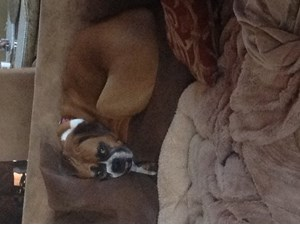 <a href='/pet-recovery/LostPetPosterOnline.aspx?lpid=38331' style='color:white; text-decoration:none;'>Allie (Boxer)<br/>Wayzata, MN</a>