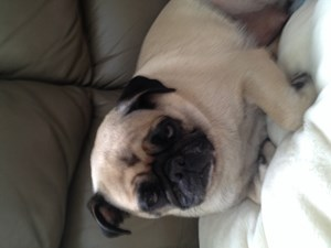 <a href='/pet-recovery/LostPetPosterOnline.aspx?lpid=38334' style='color:white; text-decoration:none;'>Marfa (Pug)<br/>Chicago, IL</a>