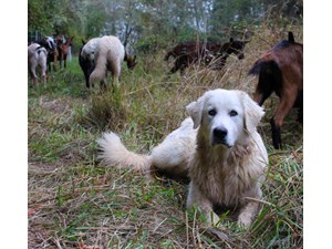 <a href='/pet-recovery/LostPetPosterOnline.aspx?lpid=38337' style='color:white; text-decoration:none;'>Fetch (Great Pyrenees / Maremma Sheepdog)<br/>Newberg, OR</a>