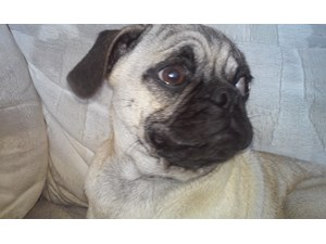 <a href='/pet-recovery/LostPetPosterOnline.aspx?lpid=38339' style='color:white; text-decoration:none;'>chopper (Pug / Pug)<br/>desert hot springs, CA</a>