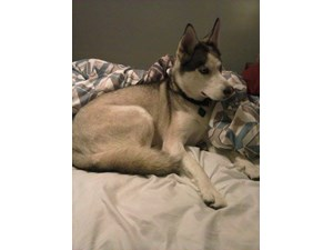 <a href='/pet-recovery/FoundPetPoster.aspx?sighting=19438' style='color:white; text-decoration:none;'>huskey (dog)<br/>erie, PA</a>