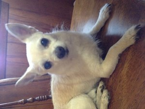 <a href='/pet-recovery/FoundPetPoster.aspx?sighting=19468' style='color:white; text-decoration:none;'>Chihuahua (Dog)<br/>Euless, TX</a>